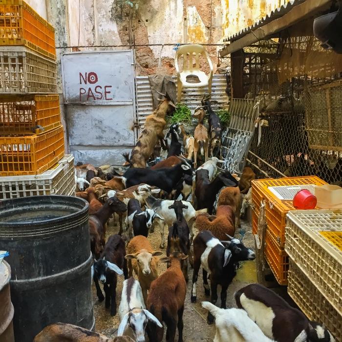 santeria_goats